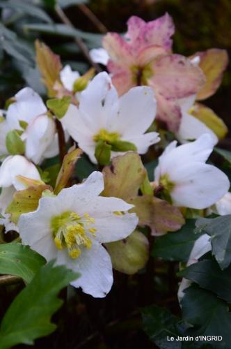 hélébores,bruyères,arbustes fleuries,mésanges 004.JPG