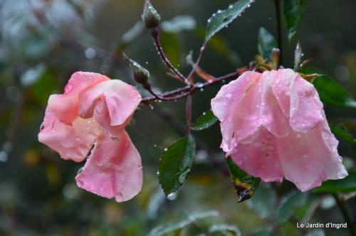 les tons roses,choux frisés,automne 037.JPG