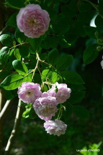cygnes,Sophie,jardin en mai 026.JPG