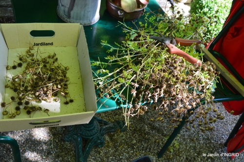 jardin,arrosage,pourpre,bouquet 029.jpg