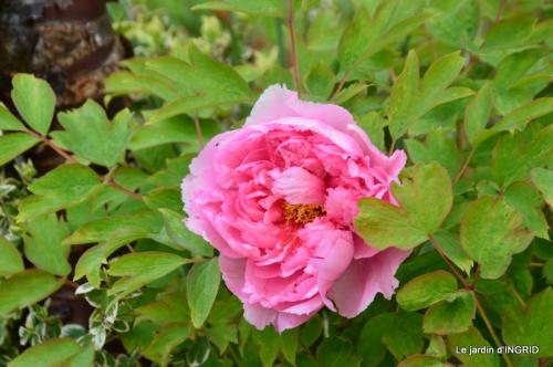 jardin confiné ,osier,magnolia jaune 040.JPG