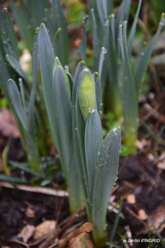 premières fleurs février,la pluie,la fauvette,hélébores 080.JPG
