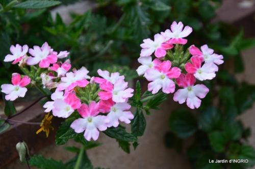 jardin,les filles,gerbera,Lalinde 062.JPG