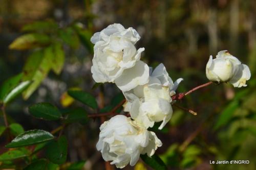 taille,arbustes,poinsettia,décos 059.JPG