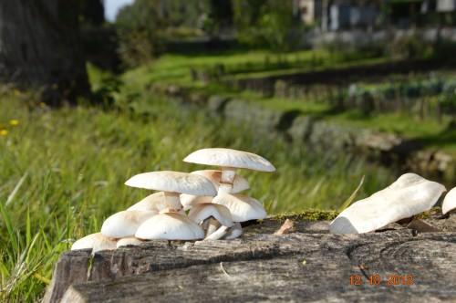 champignons,citrouilles,st Mayme de Péreyrol,fuschias,jardin aut 003.JPG