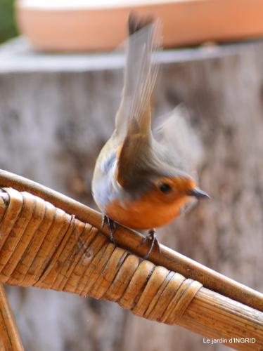 jonquilles,oiseaux avec noix,taille arbres,jardin 156.JPG