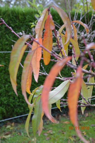 Ciron,feuilles d'automne,safran,taille érable 038.JPG