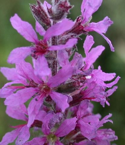 lythrum-salicaria-2.jpg