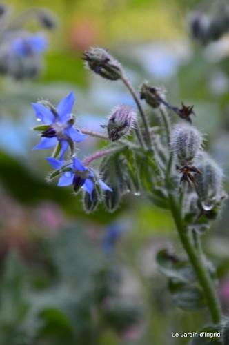 fleurs bleues,hortensia bleu,moi bébé 026.JPG