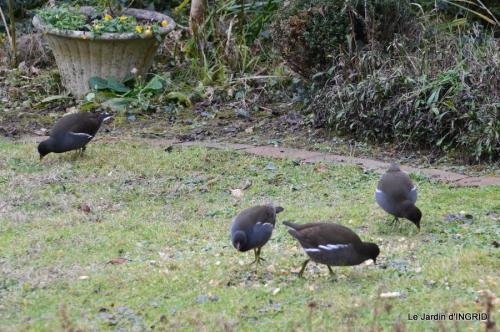 les oiseaux,les poules d'eau 163.JPG
