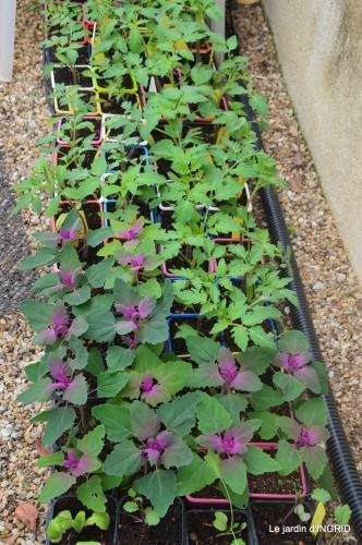 iris,ancolies,paté de paques,jardin 044.JPG