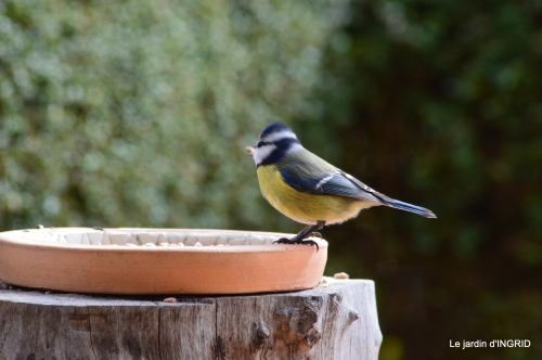 jonquilles,oiseaux avec noix,taille arbres,jardin 105.JPG