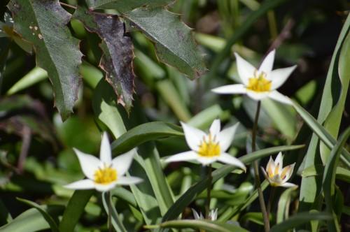 troc graines Neufont,magnolia stelleta 036.JPG