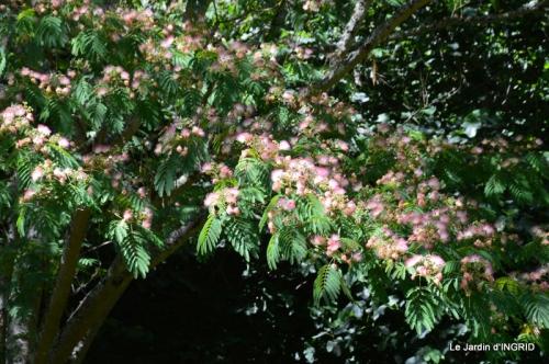 albizia,bouquet,plantes  en A 011.JPG