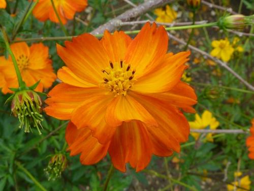 P1000595_Cosmos_sulphureus_(Yellow_cosmos)_(Compositae)_Flower.jpg