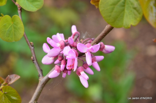 jardin avril,tulipes pivoine,iris d'eau,chenilles 085.JPG