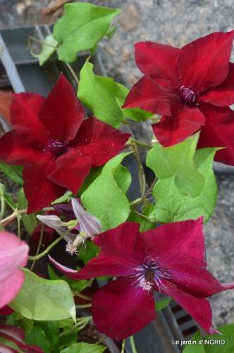 Colombier,Cadouin,jardin,roses,pluie 127.JPG