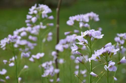 fleurs Ciron,jardin,canards,coucous,mauvaise herbe 085.JPG
