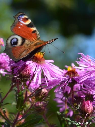 Asters,papillons,Hassina sapin,jardin 076.JPG