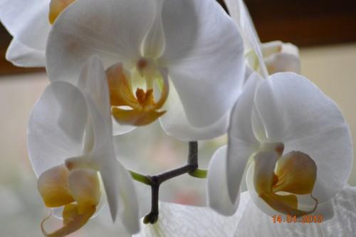 mesanges à longues queues,orchidées,neige2013 033.JPG