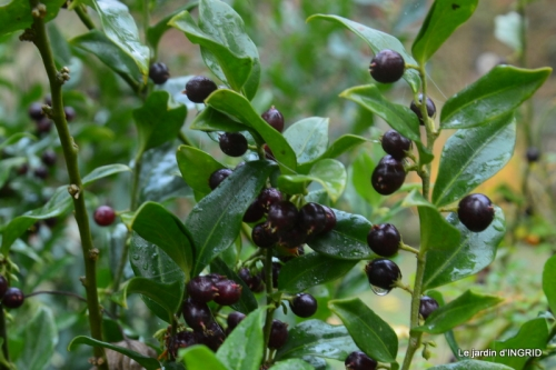 Brouillard,cypres chauve,jardinage 046.JPG