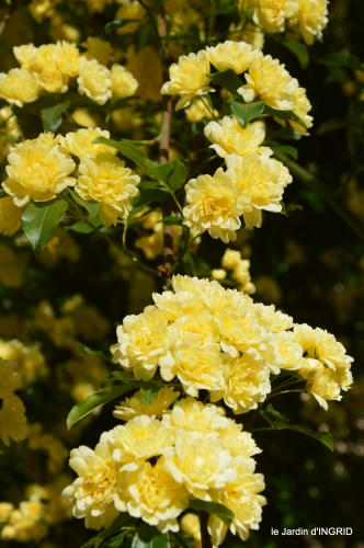 iris,clématite,Max,osier,premieres roses 085.JPG