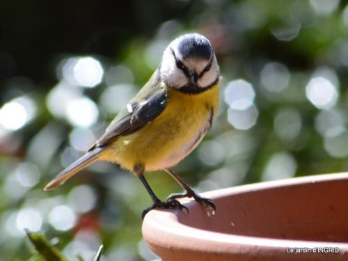 vue sur la terrasse,crocus,oiseaux, 039.JPG