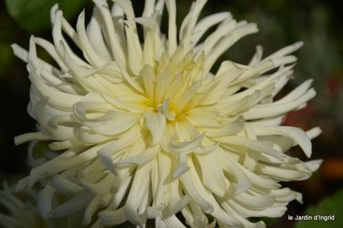jardin,asters,fleurs blanches,chatte,rosiers roses 140.JPG