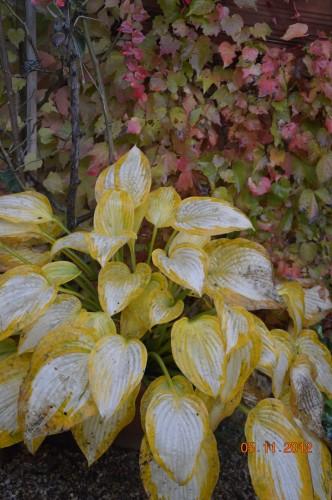 Ciron,feuilles d'automne,safran,taille érable 069.JPG