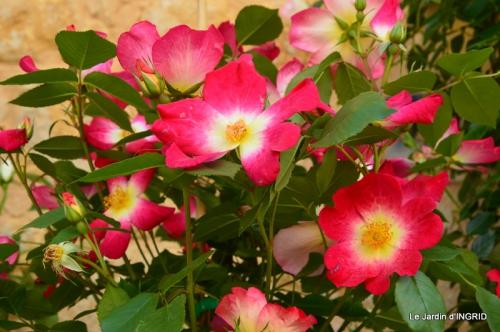 Cadouin,ancolies,roses,pollen,osier,photos Fabien,coquelicots 023.JPG