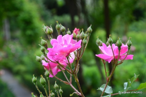 roses,jardin,Le Fleix,bleu 049.JPG