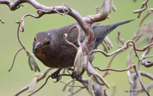oiseaux première neige 063.JPG