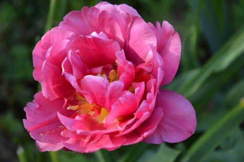 tipi,narcisse,prunus en fleurs 001.JPG