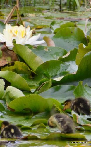 puces Lalinde,bébés canards,au moulin souci 097.JPG