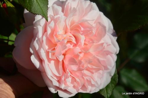 roses,jardin,Le Fleix,bleu 101.JPG
