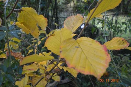 Ciron,feuilles d'automne,safran,taille érable 075.JPG