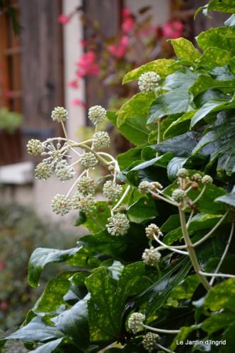 ménage automne,plectanthrus,feuillages 082.JPG