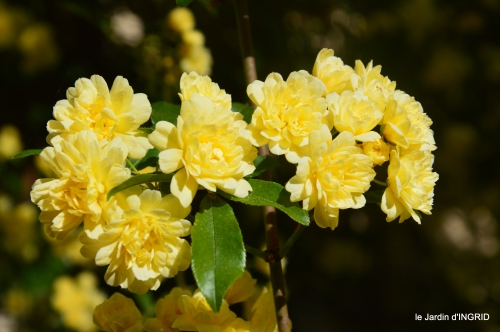 iris,clématite,Max,osier,premieres roses 084.JPG