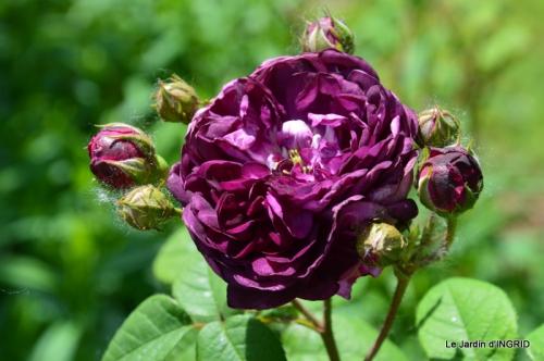 Cadouin,ancolies,roses,pollen,osier,photos Fabien,coquelicots 120.JPG