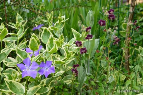 géraniums,glycine Monpazier,cabane,arums,fleurs sauvages 173.JPG