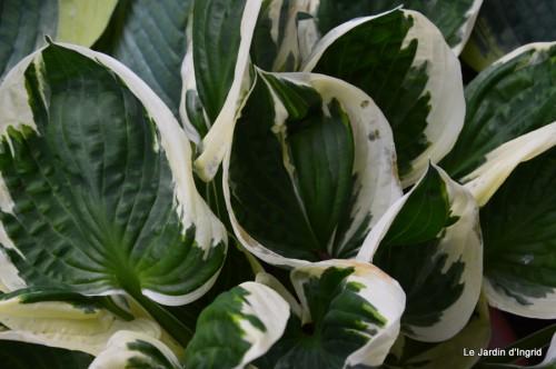 canal,fleurs blanches,marguerites,LE FLEIX,osier 093.JPG