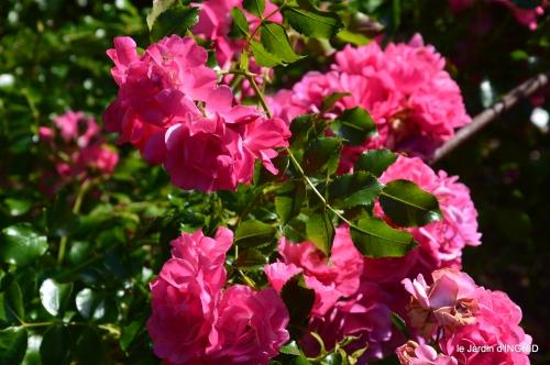 rose trémières,INES,,en ce moment en juin 139.JPG