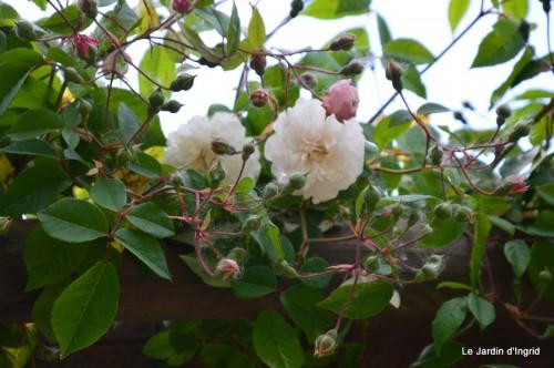 canal,fleurs blanches,marguerites,LE FLEIX,osier 072.JPG