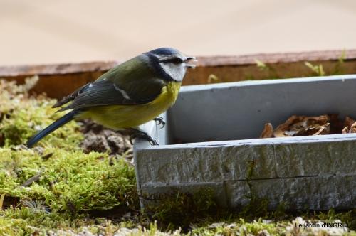 jonquilles,oiseaux avec noix,taille arbres,jardin 094.JPG