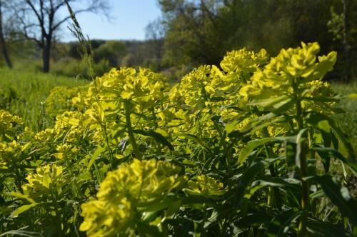 zoom sur fleur printemps 043.JPG