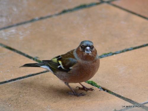 Tarins,oiseaux,persistants 006.JPG