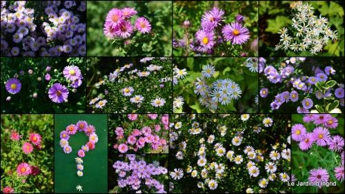 2014-09-10 jardin,puces Lasmonzie,asters.JPG