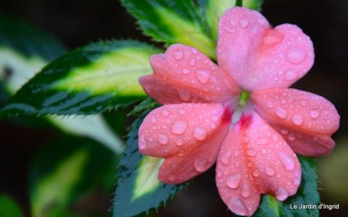 les tons roses,choux frisés,automne 028.JPG