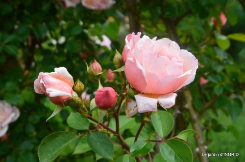 roses,poule d'eau,bébés cygnes, 017.JPG