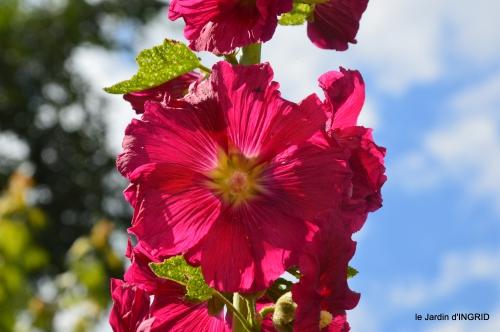 rose trémières,INES,,en ce moment en juin 035.JPG